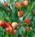 Pomi fructiferi altoiti 100+50 gratis